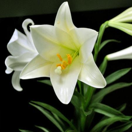 Hoa Bách Hợp tặng Mẹ nhân dịp sinh nhật